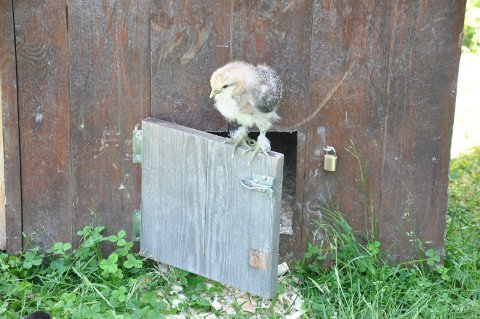 Nusselige nøster: Små kyllinger, og sauer, er å finne på bygdetunet i sommer. Barn og voksne kan være med å mate dyra.