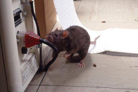 SKADEDYR: Rotter kan gjøre stor skade på bygninger, kjøretøy og inventar. Det elektriske anlegget er spesielt utsatt.