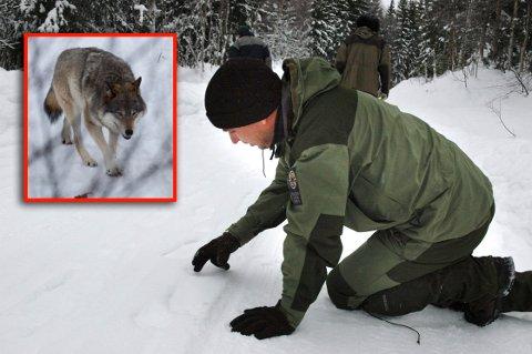 HAR UNDERSØKT: Espen Marker i Statens Naturoppsyn har undersøkt sporene i Re for å finne ut om det var en ulv som ble sett. Arkivfoto: Inger Lene O. Steen / Scanpix