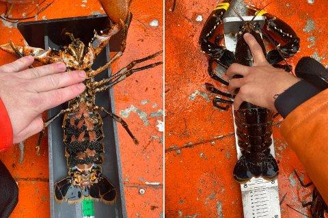 ULOVLIG FISKET HUMMER: Dette er hummer KV Nornen fant i sanketeiner i forbindelse med en kontroll utenfor Tjøme og Nøtterøy. Hummeren til venstre har synlig rogn, og hummeren til høyre er over 32 centimeter lang.