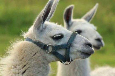 Nå er det de to lamaene som ble født på Simonstad, Dalai og Maja, som bor på Herefoss. Begge foreldrene deres er borte.