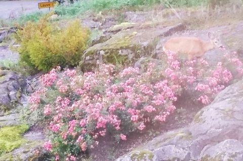 Rådyr i hagen på Høl i dag morges.