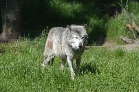 Tre ulver kan felles.