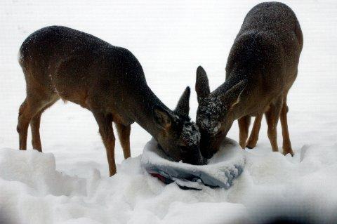 Rådyra har det tøft i all snøen. Sjølv om det ikkje er innført ekstraordinær bandtvang enno, bør ein halde hundane i band der det er rådyr.
