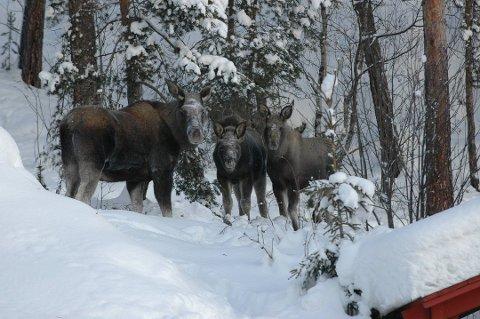 ILLUSTRASJONSFOTO: For å stoppe spredning av smittsom skrantesyke i Nordfjellaregionen er kvotene økt, og jakttidene på elg og hjort utvides fra neste år. Det betyr at du allerede 1. januar kan møte elgjegeren i skogen igjen.