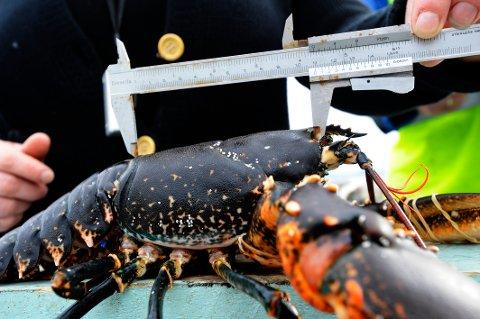 Lørdag morgen starter hummerfisket i Norge. Minstemålet for hummer er 25 centimeter. Kun teiner er lov å benytte som fangstredskap. Illustrasjonsfoto: Marit Hommedal / NTB SCANPIX
