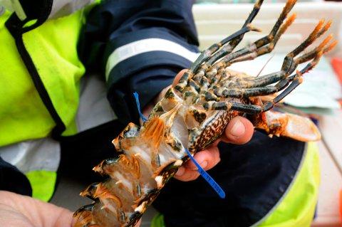 ANMELDELSER: 407 anmeldelser så langt i år. Flesteparten av dem omhandler hummerfiske.