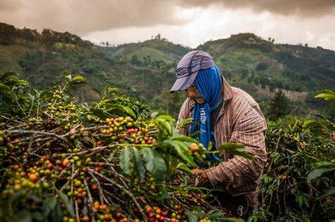 HENGER ETTER: Kaffeindustrien må foreta omfattende, bærekraftige investeringer for å møte den økende etterspørselen og sikre tilgangen på kaffe. Bildet viser kaffeproduksjon i Columbia.