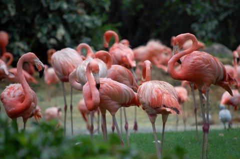 FLAMINGOER: Bush-gardens i Tampa er en kombinasjon av dyrepark og fornøyelsespark. Her er ofte køene mindre enn i parkene i Orlando  uten at attraksjonene står noe tilbake for de mer kjente parkene.  FOTO: Thore Alnes /