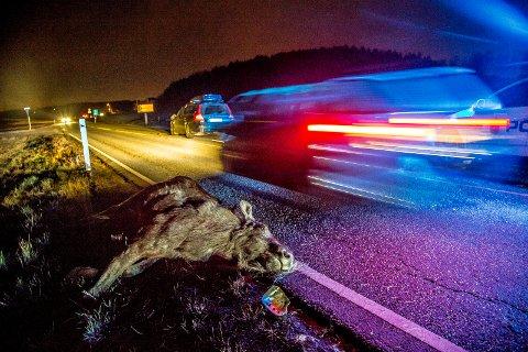 TRIST: Hvert eneste år skjer det ulykker mellom vilt og bilister. Politiet sier sjåføren er pliktig til å melde ifra om uhellet til dem og Viltnemnda.