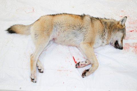 En godt voksen ulv på nærmere 50 kilo som ble skutt  i Ringsaker i 2017. Foto: Terje Pedersen / NTB scanpix