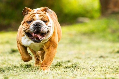 """ANDPUSTEN: Andpustenhet er kanskje del av """"sjarmen"""" med engelske bulldoger, men mange lider av både lufveisproblemer, betennelser i hudfolder og manglende evne til å føde selvstendig."""
