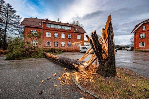 NEDE FOR TELLING: Praktfurua på tunet på Åsgård knakk rett av i vindkastene sist natt.