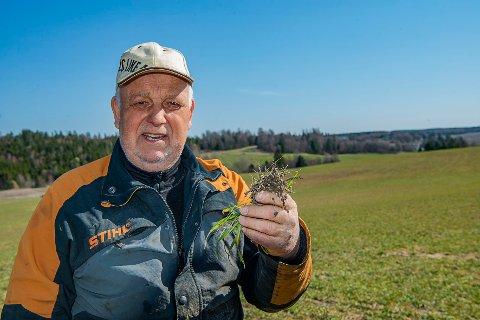 HÅPER PÅ GOD AVLING: Høsthveten i fjor vår fikk god fuktighet, sier Anders Røed, og viser frem noen kornrøtter. Slik håper han det blir for kornet også i år.