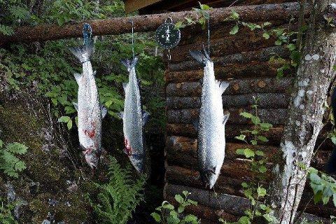 Ikke alle følger reglene i jakten på laks og sjøørret. Statens naturoppsyn har inndratt flere hundre ulovlige garn. Illustrasjonsfoto: Gorm Kallestad / NTB scanpix