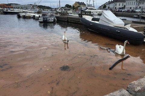 IKKE FARLIG: Svanene hadde ikke problemer med å svømme i det rødfargede vannet. Det er heller ikke farlig for oss mennesker.
