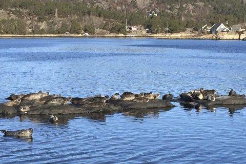 Selkoloni på  Askerøya: Under tellingen ble det registrert 30 dyr rundt Askerøya i Tvedestrand og sju dyr i Risør. Foto: Asbjørn Aanonsen/Tvedestrand kommune