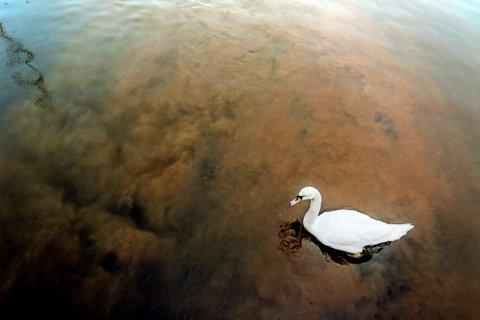 Denne svanen brydde seg ikke nevneverdig om at indre havn ble farget brunt av overvann fra Tjennaområdet. - Helt ufarlig for dyrelivet, sier kommunen.