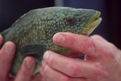 GULL: 28 millioner leppefisk ble dratt levende opp av havet i fjor, i en industri som har akselerert i enormt tempo. Nå tar Havforskningsinstituttet og fiskeridirektoratet til orde for en kraftig regulering, og foreslår en 35 prosent reduksjon i fisket allerede i sommer.Foto: Scanpix