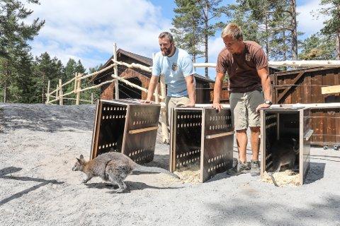 Dyreansvarlig Nils Harald Reiersen (t.v.) og kollega Terje Jensen ser fornøyd etter kenguruen som hopper ut fra transportkassen.