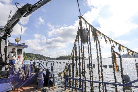 Blåskjellsløyfer: Henrik Sørensen løfter tausløyfene opp av Kranfjorden. Det er mest tang og lite skjell etter ni år uten tilsyn. Nå skal alle tauene byttes ut, for nye skjell.