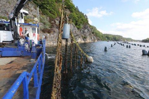 Sommeren 2018 gjorde Agder Mussels et lite forsøk på å sette blåskjellanleggene, som her i Kranfjorden, i stand etter å ha ligget brakk i årevis. Etter kort tid gikk de tom for penger og redskapbåten gikk i opplag i Buvika.