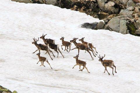 VILLREIN: Dyrene går spredt, men det er snakk om flere hundre dyr på vestsiden av Sesilåmi-traseen, altså ned mot Suleskard på Sirdal-siden av rennet som går fra Setesdal til Sirdal.
