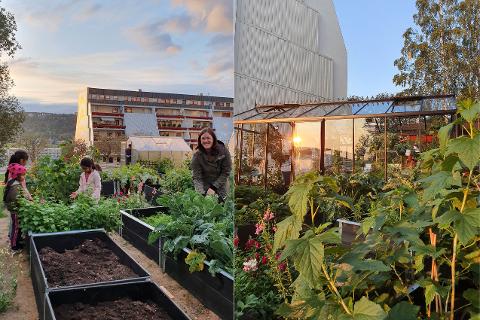"""NABOPROSJEKT: Beboer Tone Borlet har mange gode hjelpere til lukingen. - Orangeriet viser seg fra sin beste side i solnedgang, mange føler de kommer til en ny verden når de besøker """"Mellomrommet"""", sier leder for urbant landbruk i Torkerud Boligsameie, Kristine Tveit."""