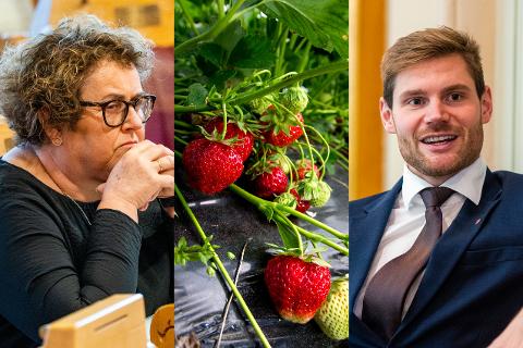 De norske jordbærene er på vei, men hvordan skal man rekruttere folk til å plukke dem? KrF og Arbeiderpartiet er uenige.