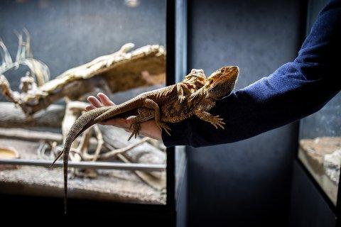 BARNAS FAVORITT: Bare Egil og kjæresten Michelle er populære attraksjoner på Ulsrud reptilpark, men parken går en usikker tid i møte. Foto: Maud Lervik