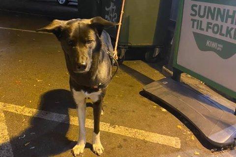 FORLATT: Denne lille krabaten ble forlatt utenfor Kiwi-butikken på Vålerenga onsdag kveld. Hunden sto bundet til søppeldunken i 2,5 timer før en kunde i butikken til slutt ringte politiet.