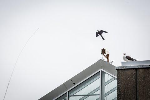 Måseparet som vaktar hjørnet på bygget der Avisa Nordhordland har kontor ser ut til å ta den falske rovfuglen som svever over dei med knusande ro.