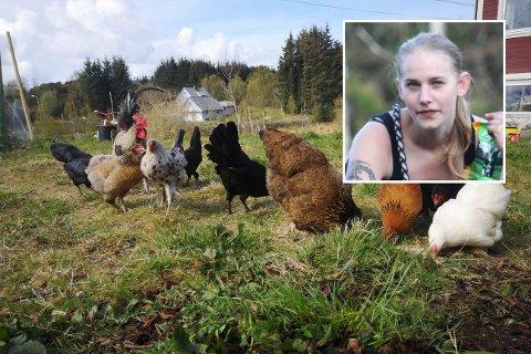 INNBROT I HØNSEHUSET: Både katt og rev har vorte mistenkt etter at Pernille Hoelstad og sambuaren mista fleire av hønsa sine.