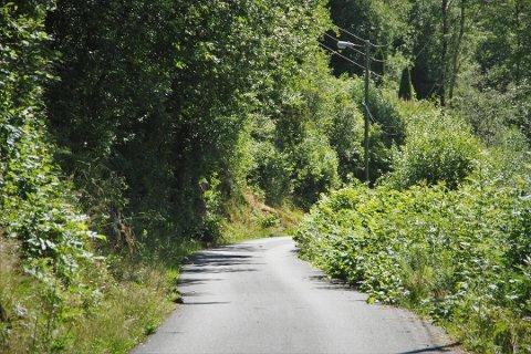 Parkslirekne, her i Hodnesdalsvegen på Hjelmås, er ein plante også Austrheim kommune er uroa for at skal spreie seg.