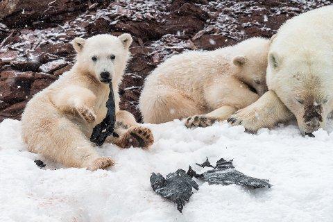 Dette synet møtte fotograf Olav Thokle og fotokollega Svein Wiik da de var på rundttur rundt Svalbard. Isbjørnungene leker med en stor søppelpose de har funnet i fjæra. Plastposen ble fort revet i biter, før den havnet ned i de små bjørnemagene.
