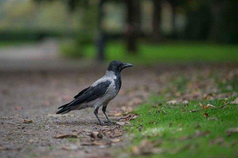Om kråkene fjernes vil det ikke bli større bestander av andre  arter.