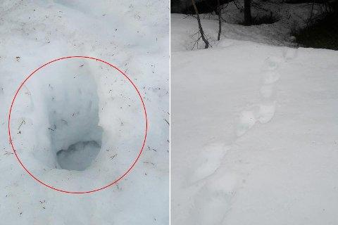 Harry Kristensen i Saltdal oppdaget disse bjørnesporene 16. mai. Foto: Privat