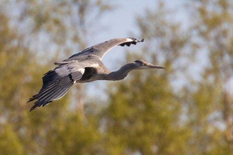 Nordvannet er en del av et sammenhengende våtmarksområde, der både sangsvaner og traner har etablert seg som hekkefugler de siste årene.