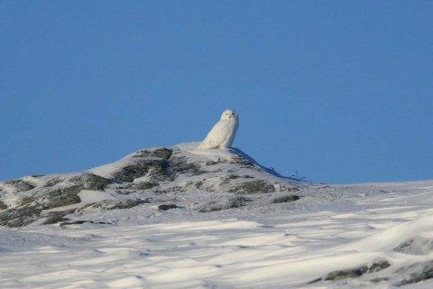 Statskog Fjelltjenesten ønsker å komme i kontakt med deg dersom du har sett snøugle eller hubro på indre Helgeland