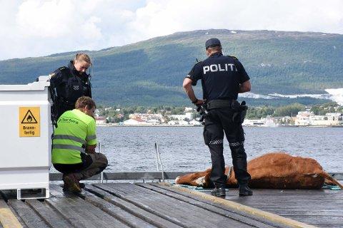 Grunneier Karl Gunnar Strøm synes det var et trist syn å se kua ligge på kaikanten etter å ha blitt funnet på havet tidligere i juli. Her sammen med en patrulje fra Fauske lensmannskontor. Foto: Christian A. Unosen