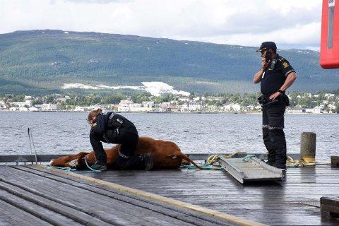 Grunneier Karl Gunnar Strøm synes det var et trist syn å se kua ligge på kaikanten etter å ha blitt funnet på havet tidligere i juli. En patrulje fra Fauske lensmannskontor gjorde undersøkelser på stedet. Foto: Christian A. Unosen