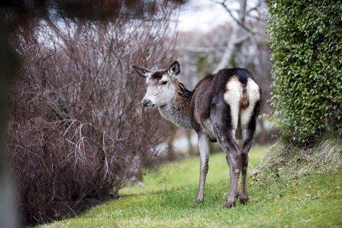 Bergen har en stor bestand av hjort. Kommunens mål er å få ned stammen til et økologisk bærekraftig nivå og det er i den forbindelse gjort en rekke tiltak.