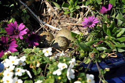 En måke har funnet det for godt å legge sine egg i en blomsterkrukke utenfor P.Larsen butikken i kanalveien 50.  Aleksander Tveitnes Wenaas Kanalveien