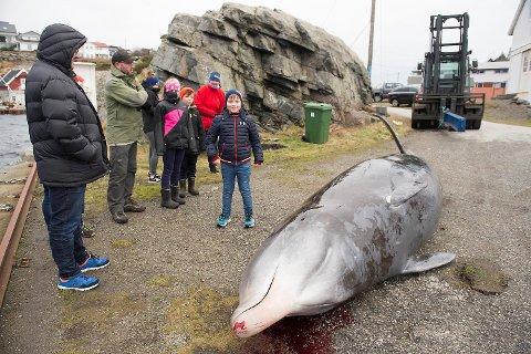 Den 6,10 meter lange og ca 3 tonn tunge hvalen havnet i fjæresteine på Vindenes sist helg.