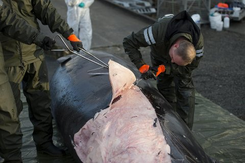 Her er de i gang med å slakte hvalen.