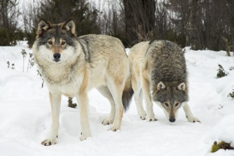 God ulv er død ulv, mener Sp.