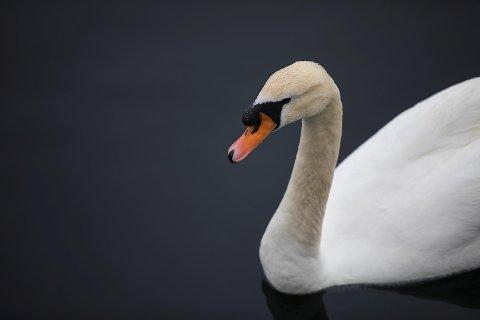 Deler av Os er illsinte etter at landbrukskontoret vedtok å avlive den hissige svanen Havnesjefen.