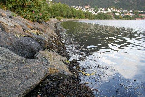 Slik så det ut langs strandlinjen i Store Lungegårdsvann mandag ettermiddag. Tusenvis av små gule plastledninger la inne ved fjæresteinene.