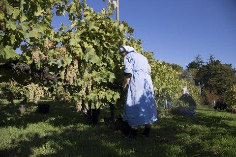 Nonnene i Monastero Suore Cistercensi lager økologisk hvitvin i Lazio, som du nå kan bestille.