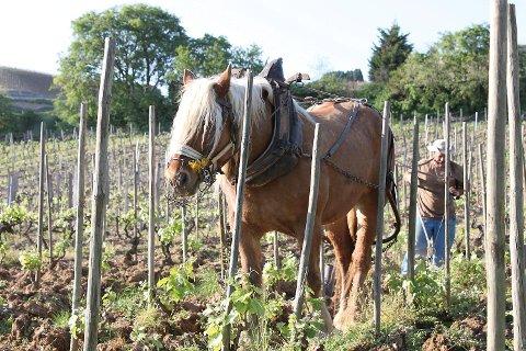 Hesten brukes fortsatt flere steder i vinmarkene - som her hos Domaine du Colombier i Nord-Rhône.